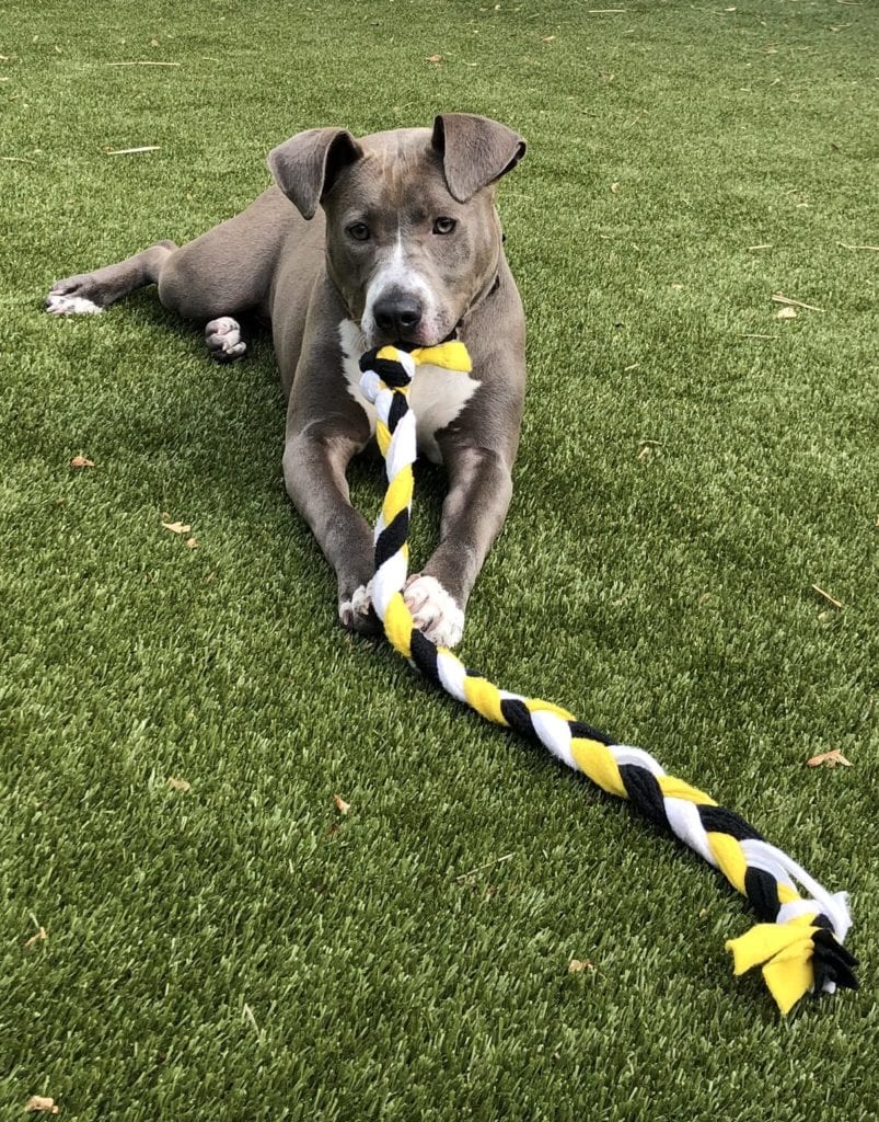 Pet Boarding in Phoenixville: Dog Playing With Tug Toy