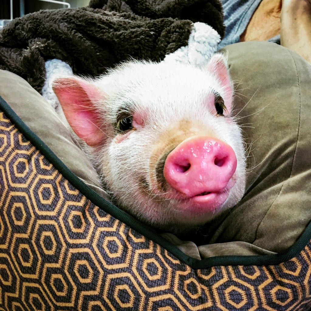 cookie the pig