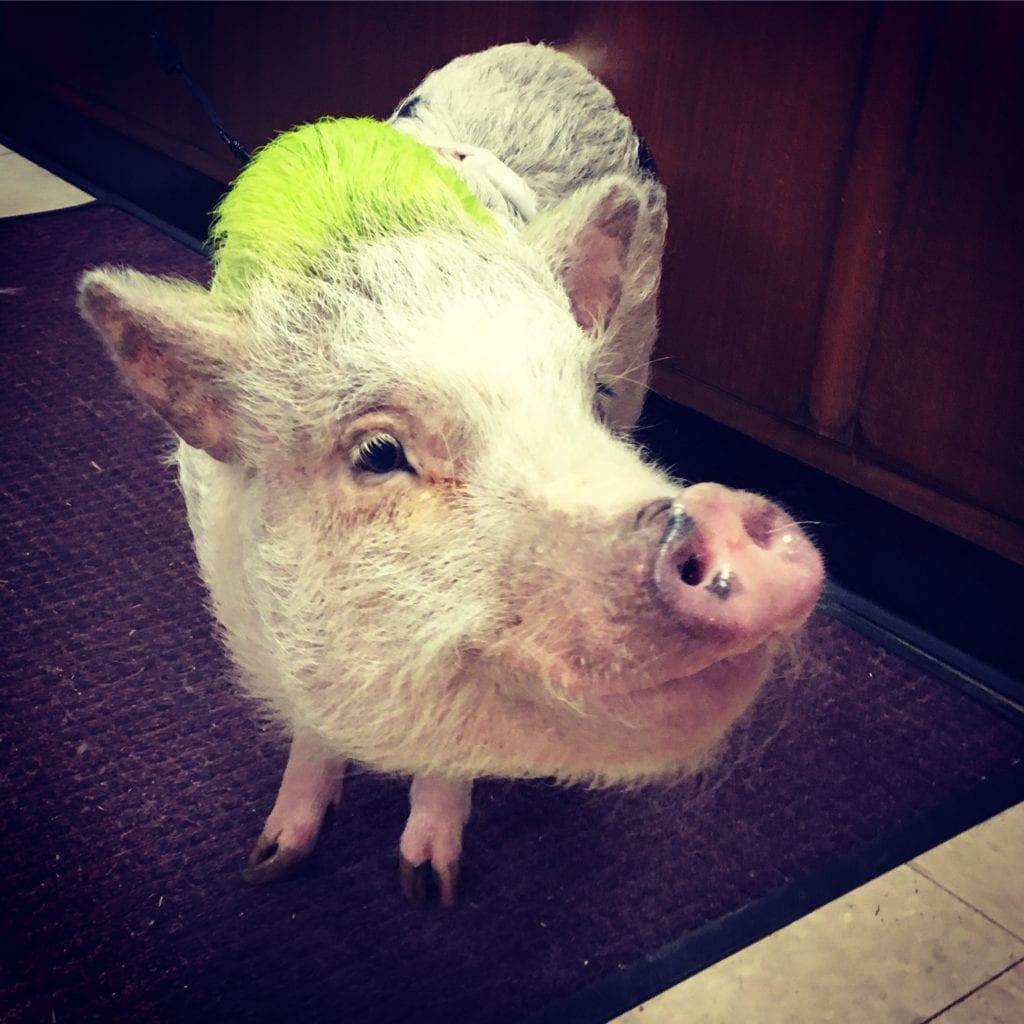 dixie the pig