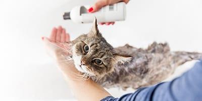 Adult Woman Washing Siberian Cat in Bathtub.