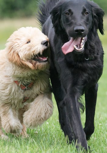 You see a puppy playing and runnung with an adult dog.